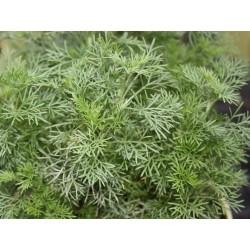 Artemisia abrotanum Cola