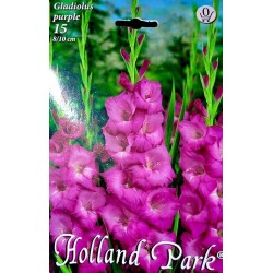 Gladiole Purple