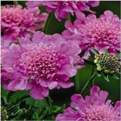 Scabiosa japonica Pink Diamonds