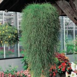 Agrostis stolonifera Green Twist