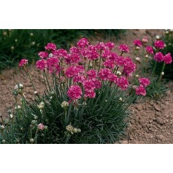 Armeria maritima Abbey Deep Rose
