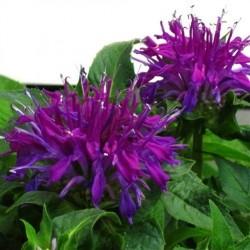 Monarda didyma Balmy Lilac