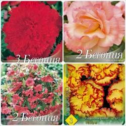 Pachet bulbi Begonia 10 bulbi