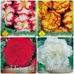 Pachet bulbi Begonia