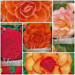 Pachet bulbi Begonia mix-16 - 12 bulbi