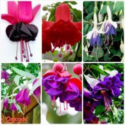 Pachet Fuchsia 10 plante
