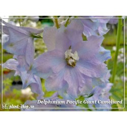 Delphinium Pacific Giants Cameliard