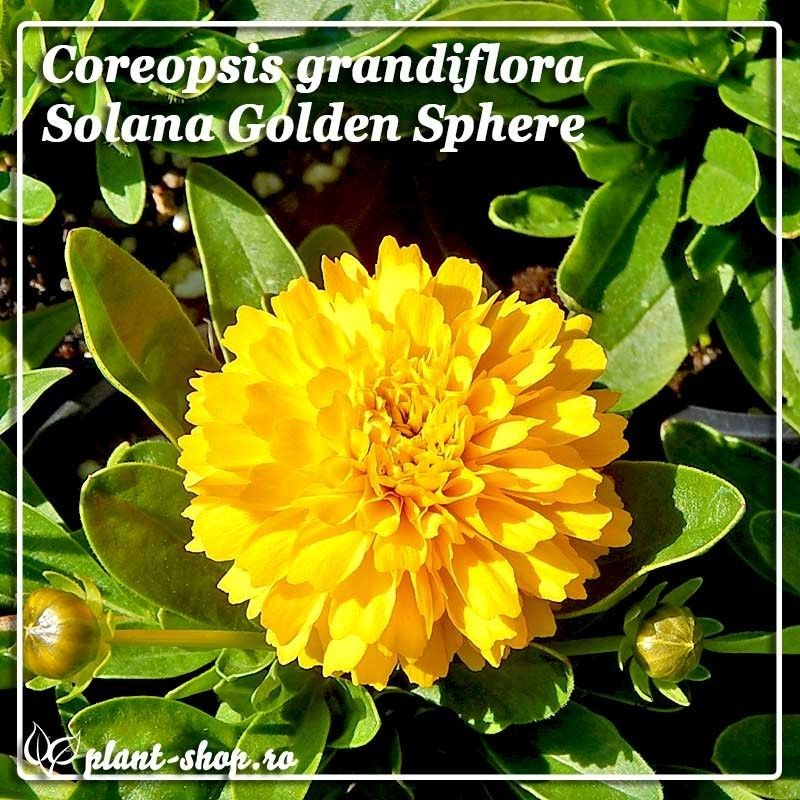 Coreopsis grandiflora Solana Golden Sphere