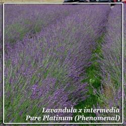 Lavandula x intermedia Pure Platinum