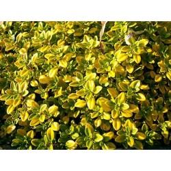 Thymus citriodorus Golden Lemon