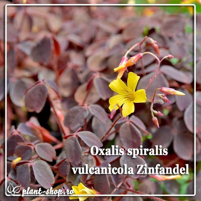 Oxalis spiralis vulcanicola Zinfandel