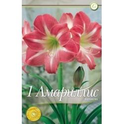 Amaryllis Exposure