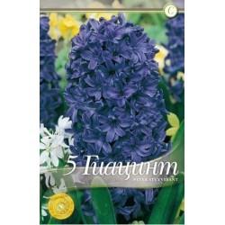 Hyacinthus Peter Stuyvesant
