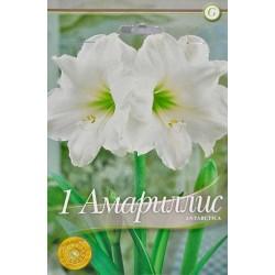 Amaryllis Antarctica