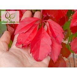 Parthenocissus quinquefolia G-9
