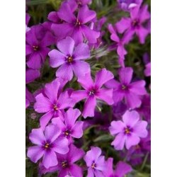 "Phlox subulata""Early Spring Dark Pink"""