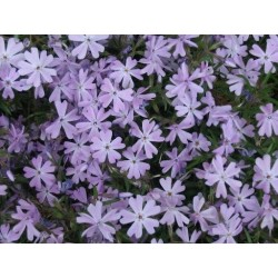 "Phlox subulata""Early Spring Lavender"""