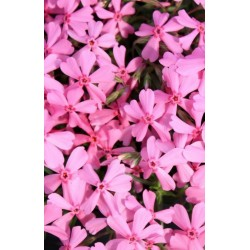 "Phlox subulata""Early Spring Light Pink"""