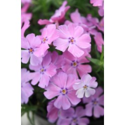"Phlox subulata""Early Spring Purple"""