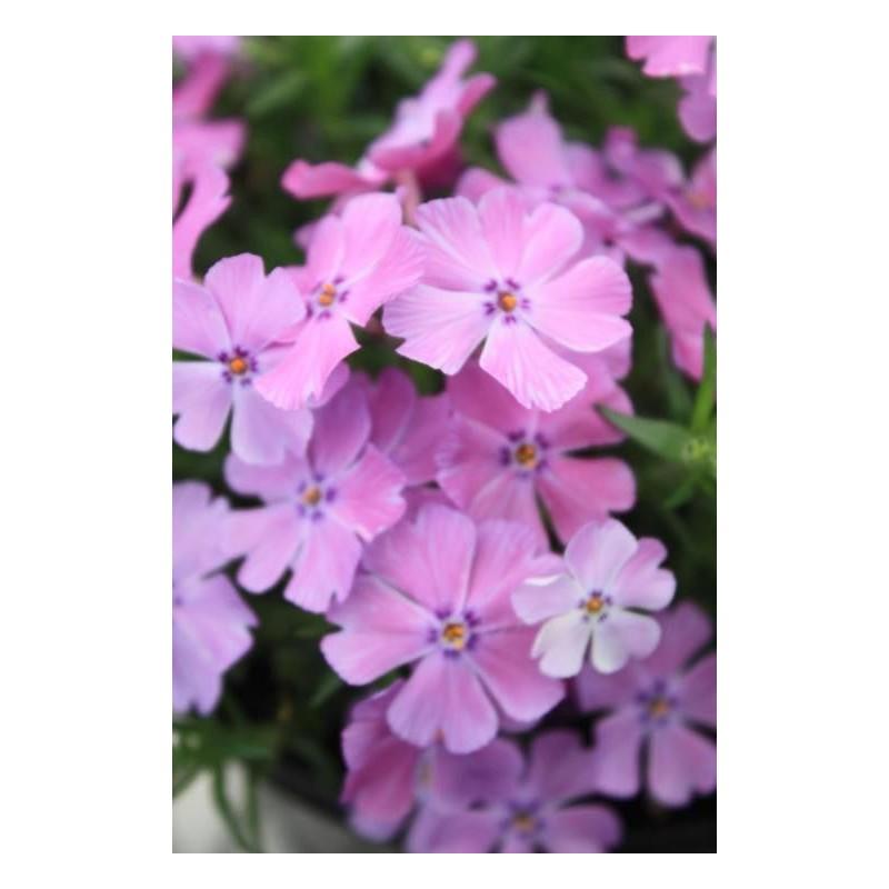 "Phlox subulata""Early Spring Purple"""