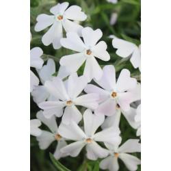 "Phlox subulata""Early Spring White"""