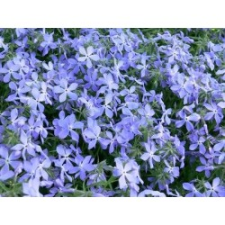 "Phlox subulata""Early Spring Blue"""