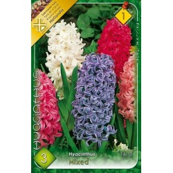 Hyacinthus mix