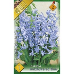 Hyacinthus multiflowered Blue