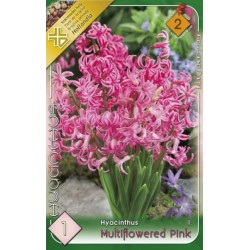 Hyacinthus multiflowered Pink