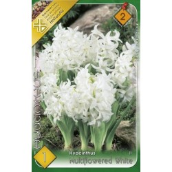 Hyacinthus multiflowered White