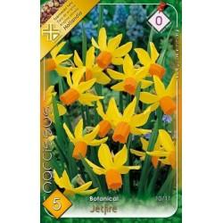 Narcissus botanical Jetfire