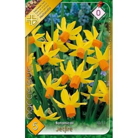 Narcissus botanical Jetfire - 5 bulbi KM