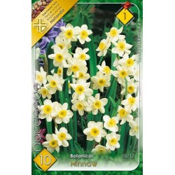 Narcissus botanical Minnow