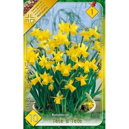 Narcissus botanical Tete a Tete - 10 bulbi KM