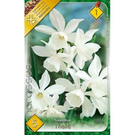 Narcissus triandrus Thalia - 5 bulbi KM