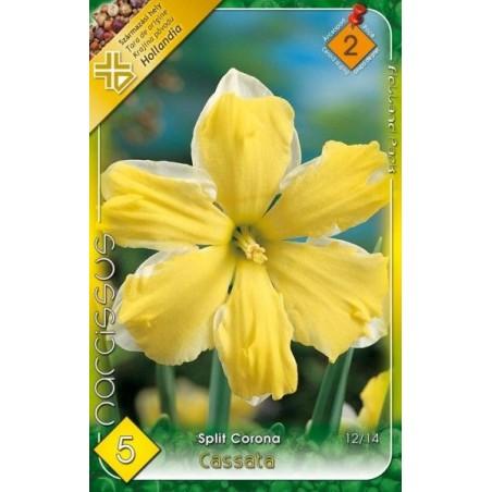 Narcissus Cassata - 5 bulbi KM