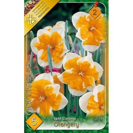 Narcissus Orangery - 5 bulbi KM
