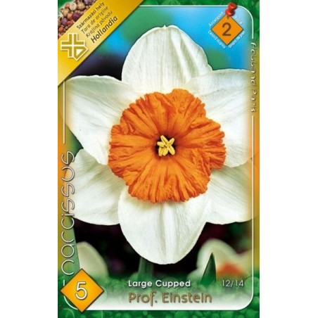 Narcissus Prof. Einstein - 5 bulbi KM