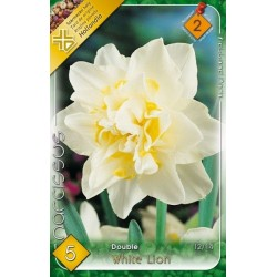Narcissus White Lion