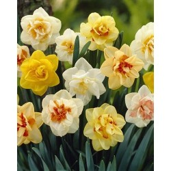 Narcissus Double mix