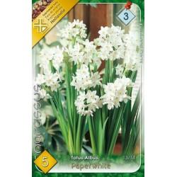 Narcissus Totus Albus Paperwhite