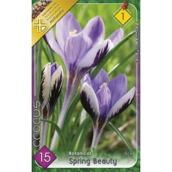 Crocus botanical Spring Beauty