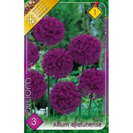 Allium aflatunense - 3 bulbi KM