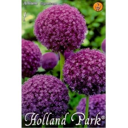 Allium giganteum - 1 bulb KM