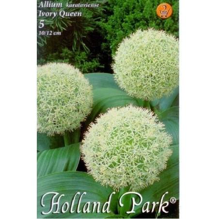 Allium karataviense Ivory Queen - 5 bulbi KM