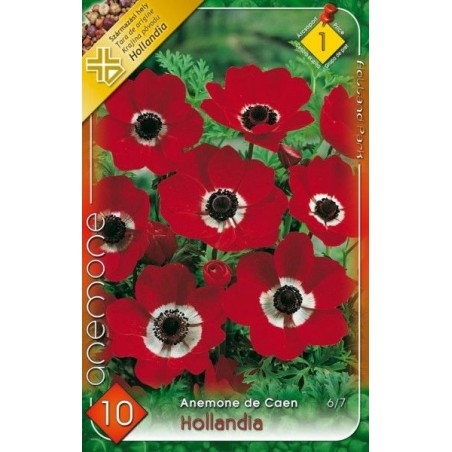 Anemone Hollandia - 10 bulbi KM
