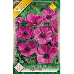 Anemone Sylphide