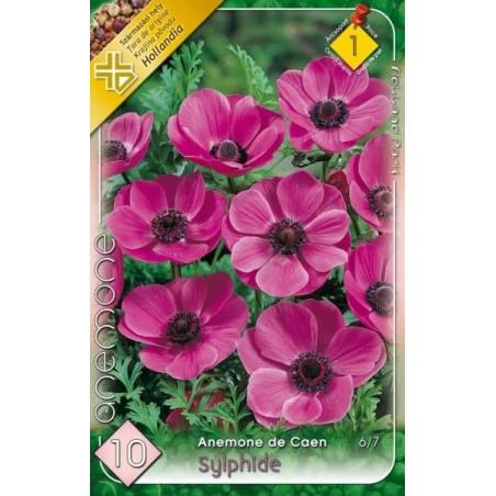 Anemone Sylphide - 10 bulbi KM