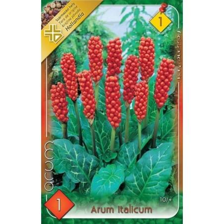 Arum italicum - 1 bulb KM