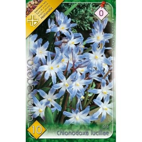 Chionodoxa luciliae - 10 bulbi KM